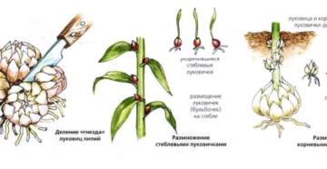 Лилии: посадка, уход и размножение