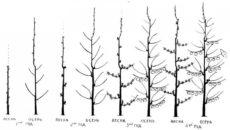 Формирование колонновидной яблони