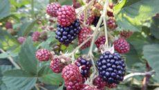 Ежевика Торнфри: выращивание в Сибири
