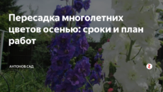 Пересадка многолетних цветов осенью: сроки и план работ
