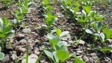 Бобы овощные: выращивание, посадка и уход