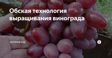 Обская технология выращивания винограда