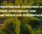 Декоративный, полезный и сорный золотарник: как вырастить и как избавиться