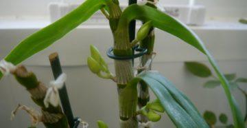 Орхидея уход в домашних условиях дендробиум после цветения