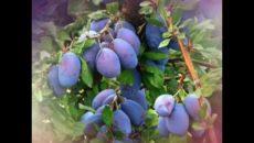 Выращивание сливы в Средней полосе