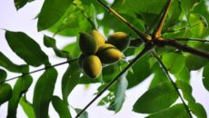 Маньчжурский орех: посадка и уход в Средней полосе