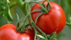 Томаты и огурцы без рассады: сверхранние, устойчивые к болезням и заморозкам сорта