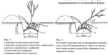 Посадка смородины весной и осенью: сроки, схема и подготовка