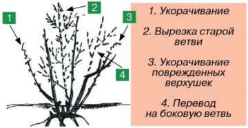 Ягодные кустарники: обрезка и формировка