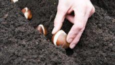 Посадка тюльпанов: как и когда высаживать луковицы
