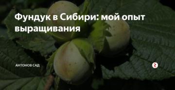 Фундук в Сибири: мой опыт выращивания