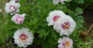 Выращивание Ито-пионов: сорта, посадка и уход