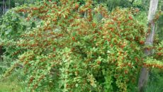 Выращивание кустарника гуми: посадка, уход и размножение