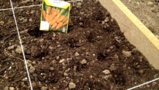 Посев моркови весной