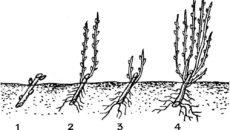 Выращивание черной смородины: посадка, уход и размножение