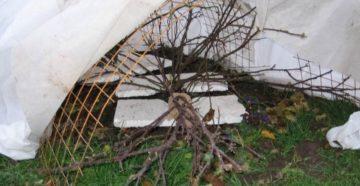 Подготовка пионов к зиме: обрезка, полив, подкормки и укрытие