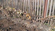 Посадка малины осенью в Средней полосе