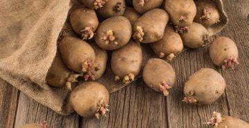 Как посадить проросший картофель