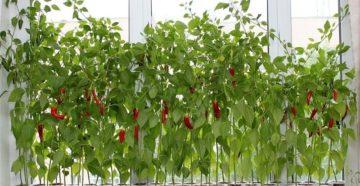 Выращивание перца на подоконнике