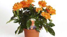 Цветок комнатный кассандра