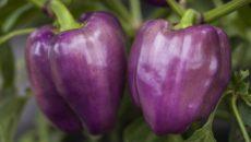 Фиолетовые перцы не боятся холода