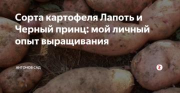 Сорта картофеля Лапоть и Черный принц: опыт выращивания