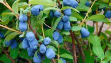 Первая ягода в саду: жимолость голубая