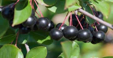 Выращивание рябины черноплодной