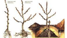 Выращивание облепихи: посадка и уход