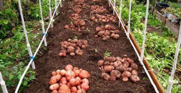 Картофель: новый способ посадки