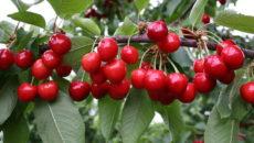 Сорта вишни для Сибири