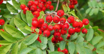 Рябина плодовая: сорта и особенности выращивания