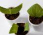 Как правильно посадить листом глоксинию