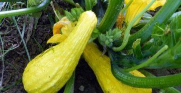 Выращивание крукнеков: декоративная тыква в саду