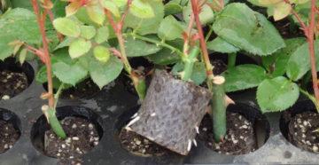Сравнение выращивания корнесобственных и привитых роз в условиях Сибири