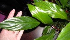 Сохнут кончики листьев у спатифиллума что делать