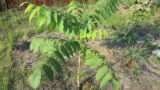 Выращивание маньчжурского ореха в Забайкалье