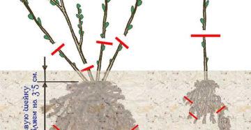 Выращивание ежевики: посадка, уход весной и осенью