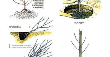 Правила посадки вишни