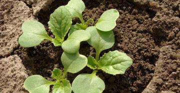 Безрассадная капуста: как вырастить из семян в открытом грунте