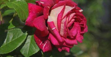 Лучшие розы для Подмосковья