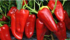 Секреты выращивания урожайного перца от опытных дачников