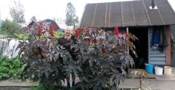 Клещевина обыкновенная: посев на рассаду и уход в открытом грунте