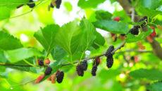Выращивание шелковицы в Средней полосе