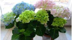 Почему комнатная гортензия не цветет