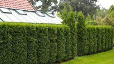 Живая изгородь: выбор растений и посадка