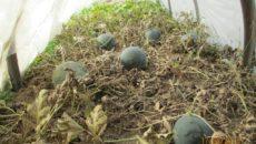 Как вырастить дыню в Средней полосе: посадка и уход