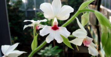 Лелиокаттлея, Каланта одетая и другие орхидеи