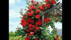 Особенности плетистых роз