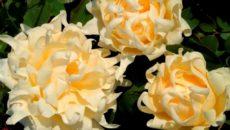 Сорта роз серии Раффлс (Ruffles)